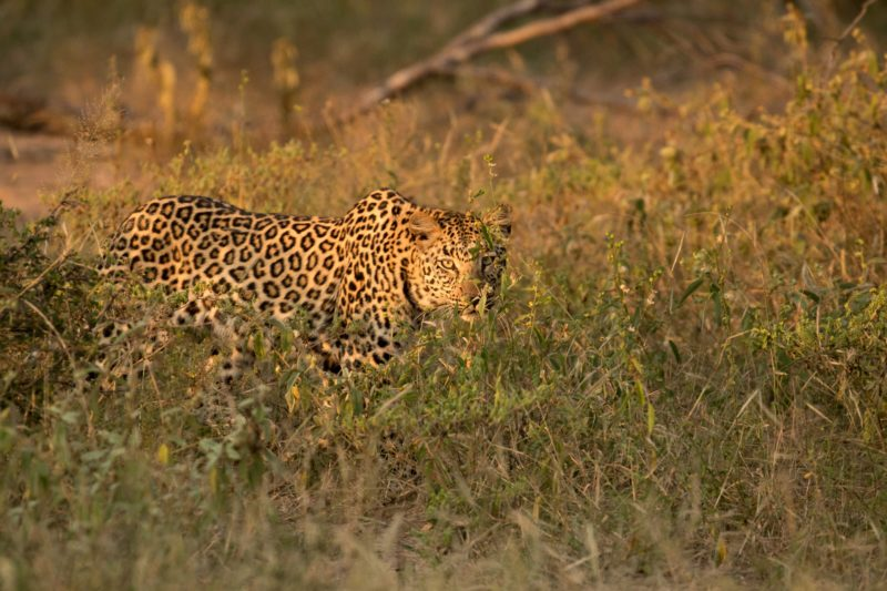 Safari Camp Stories: Tracking Leopards with Kaizer