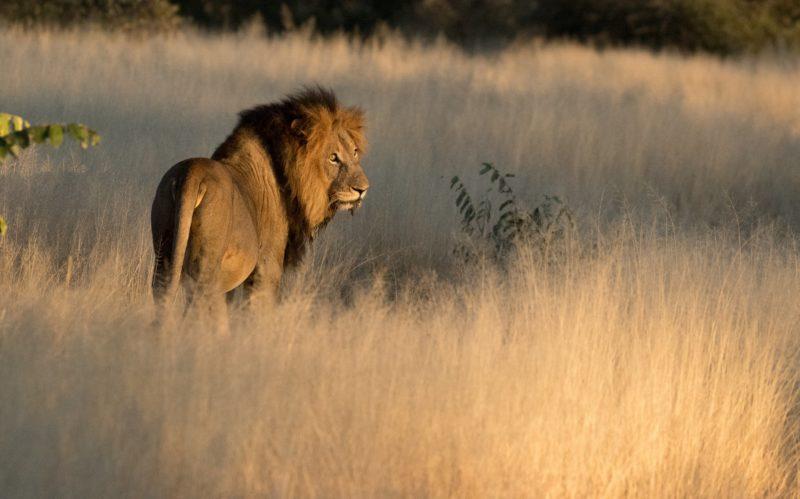 Safari Camp Stories: Tracking Lions with Bongi