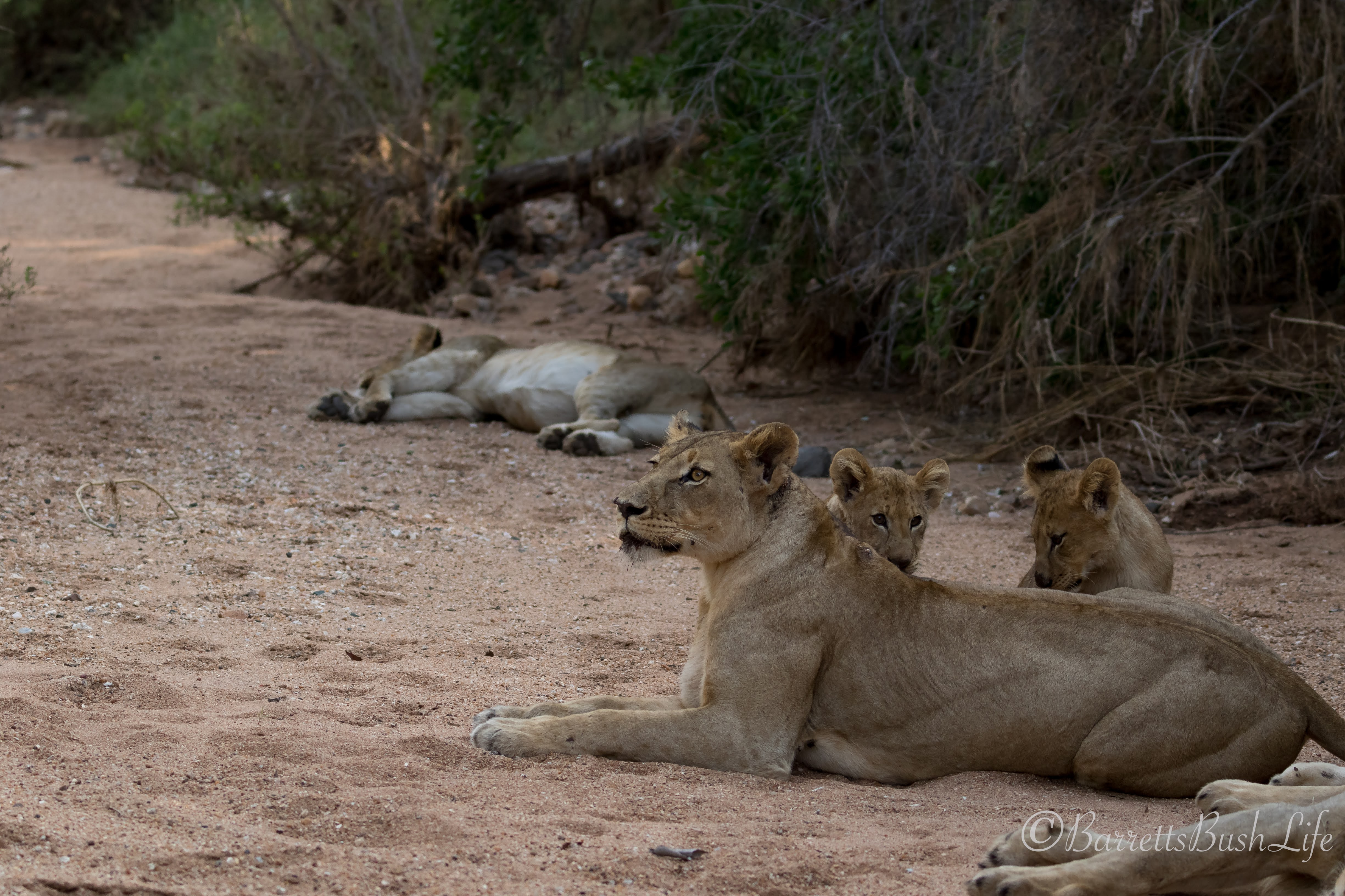 Safari Camp Stories: Cat Fight!